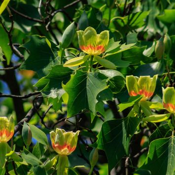 Tulpenbaum Tulipo - Der Klimabaum