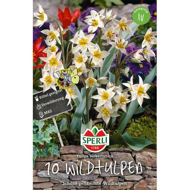 Wildtulpen - Tulipa turkestanica