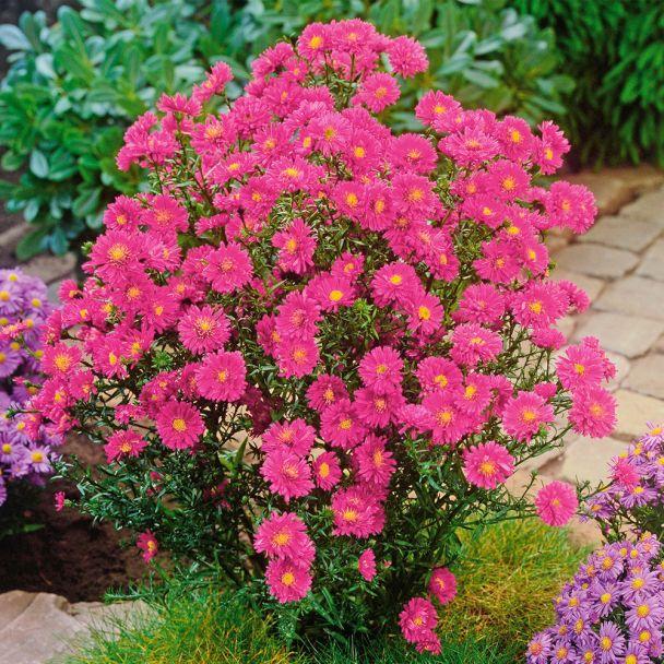 Kissen-Aster rosa
