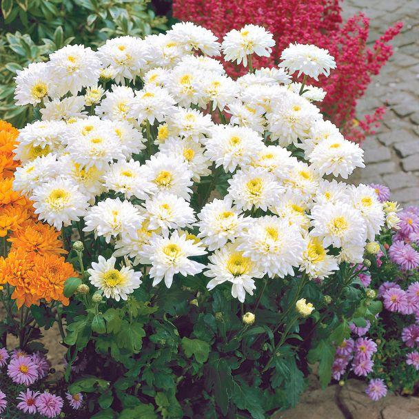 Garten-Chrysanthemen 'Gerrie Hoek'