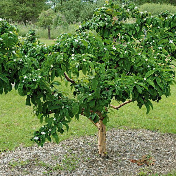 Pfälzer Frucht-Mandel 'Palatina'