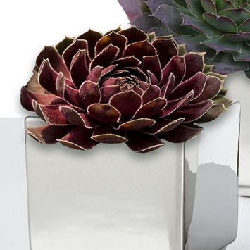 Sempervivum Ruby Hearts