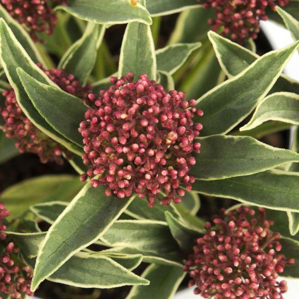Skimmia japonica 'Mystic Marlot®'