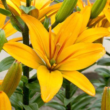 Asiatische Lilie Gold Twin