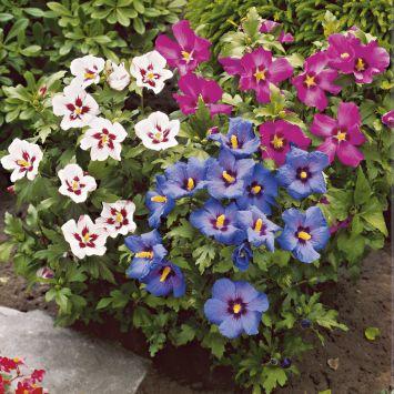 Bunter Hibiscus - Dreifarben Topf