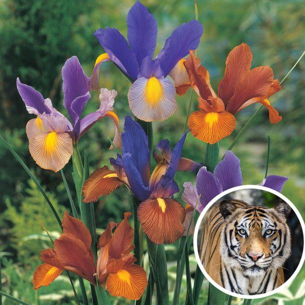 Iris Tigermix