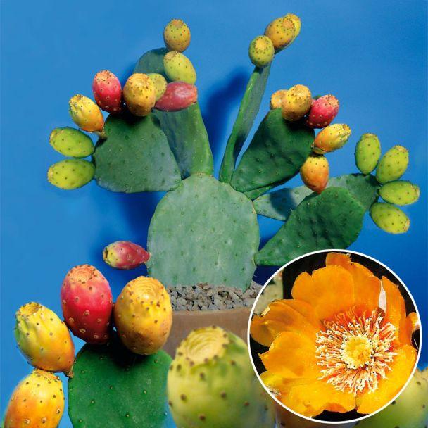 Feigen-Kaktus 'Ibiza'