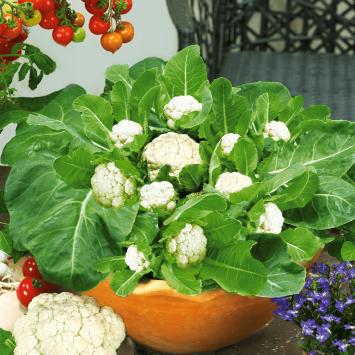 MultiFlora Pflück-Blumenkohl