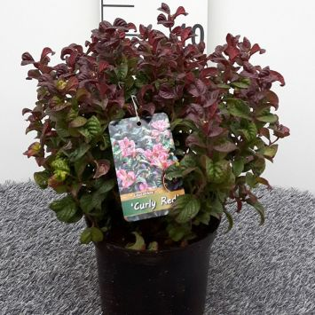 Lavendelheide 'Curly Red'