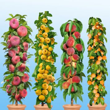 4 Säulen-Bäume: 1 Little Pinocchio, 1 ProSecco®, 1 Aida, 1 Golden Sun