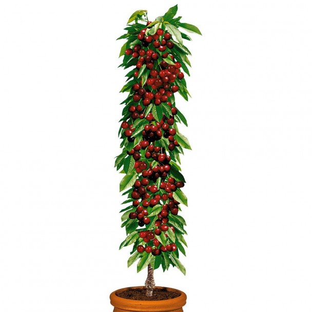 Säulenobstbaum Kirsche 'Victoria', zweijährig