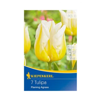 Triumph-Tulpe 'Flaming Agrass'