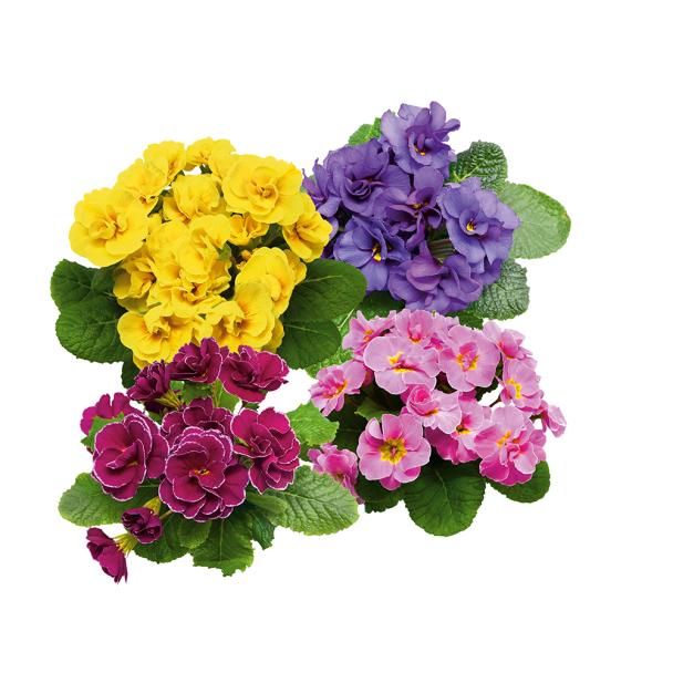 Queen Primeln - Gelb, Pink, Blau und Purpur (Sparangebot)