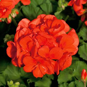 Geranie Sunrise® Mandarin (Pelargonium)