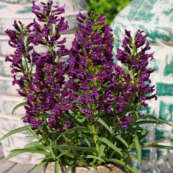 Penstemon Purple Perfection