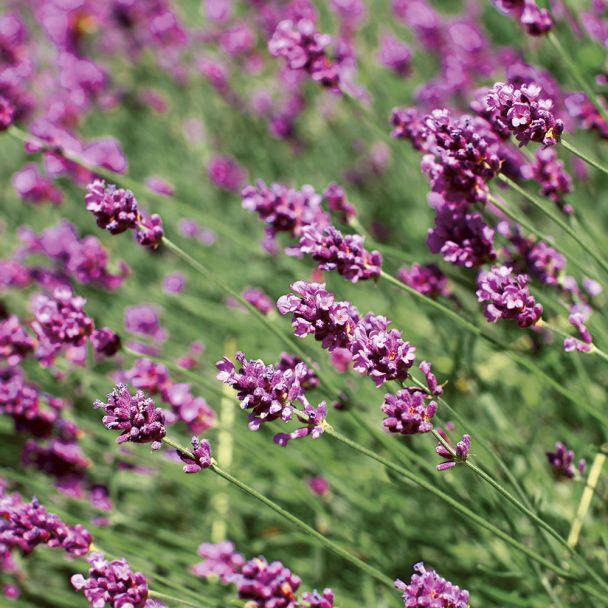 Lavendel 'Rosea', rosa