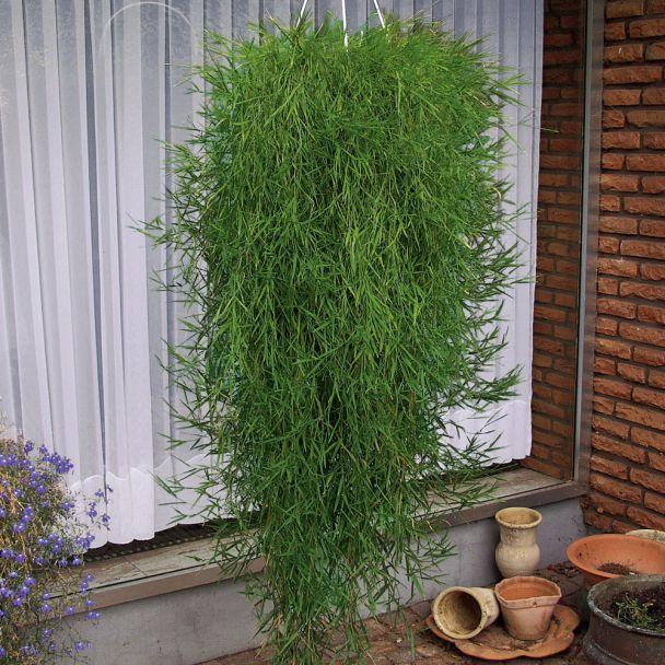 Hänge-Bambus Green Twist