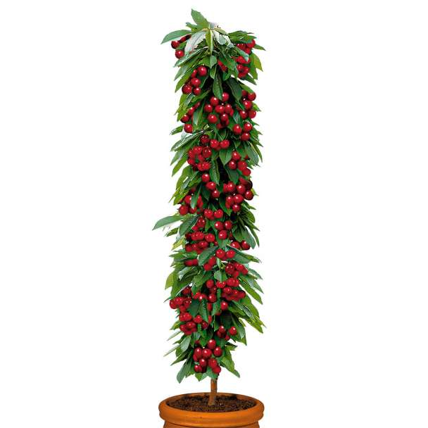 Säulenobstbaum Sauerkirsche 'Rubina', einjährig