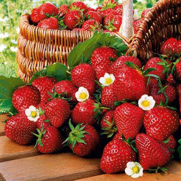 Qualitäts-Erdbeerpflanze 'Imtraga-Selekta®', zweimal tragend