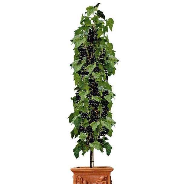 Säulen-Johannisbeere 'Titania®', Schwarz