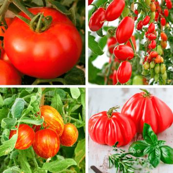Tomaten Rondo, Marzino, Giganto, Lucky Queen (4er Set im Sparangebot)