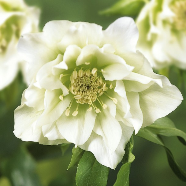 Weiße Christrose 'Ellen White®'