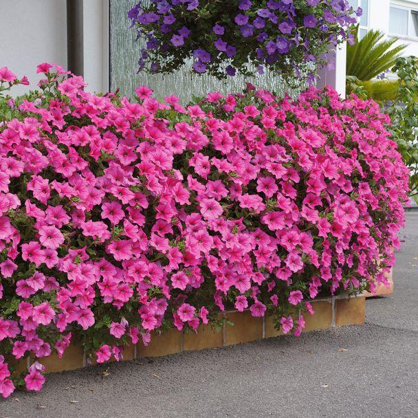 Surfinia® - Petunie 'Hot Pink'
