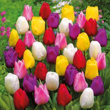 Tulpen Mischung: 140 Blumenzwiebeln