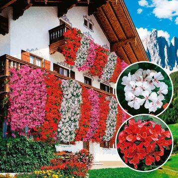 Echte Tiroler Hänge-Geranien 'Tirolia': Farbduo (3 x Rot und 3 x Weiß)