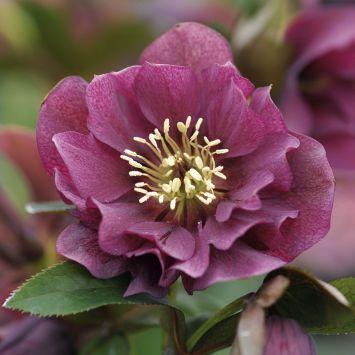 Rote Christrose 'Ellen Red Purple®'