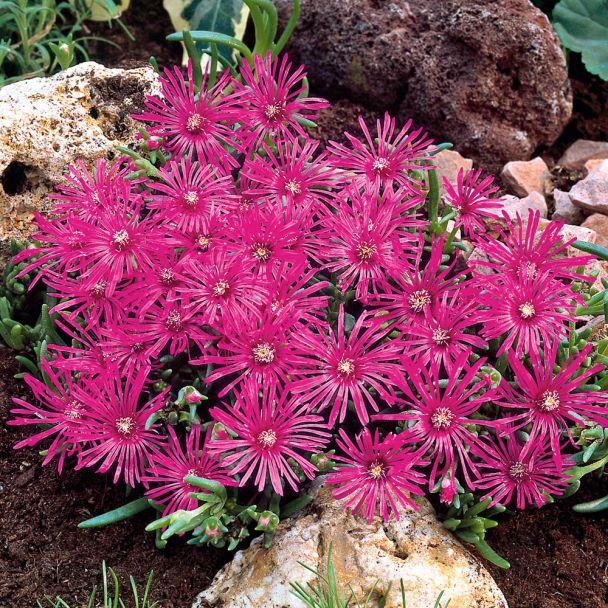 Zwerg-Mittagsblumen, rotviolett