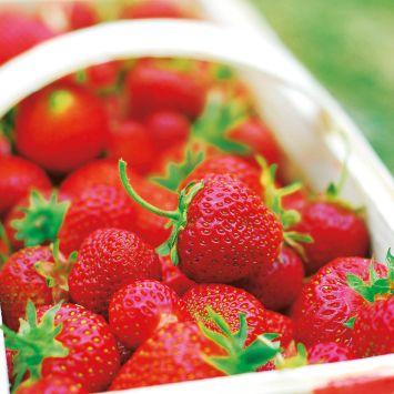 Französische Gourmet-Frucht Erdbeere 'Gariguette' - Setzlinge