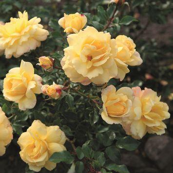 Strauchrose 'Candela®'