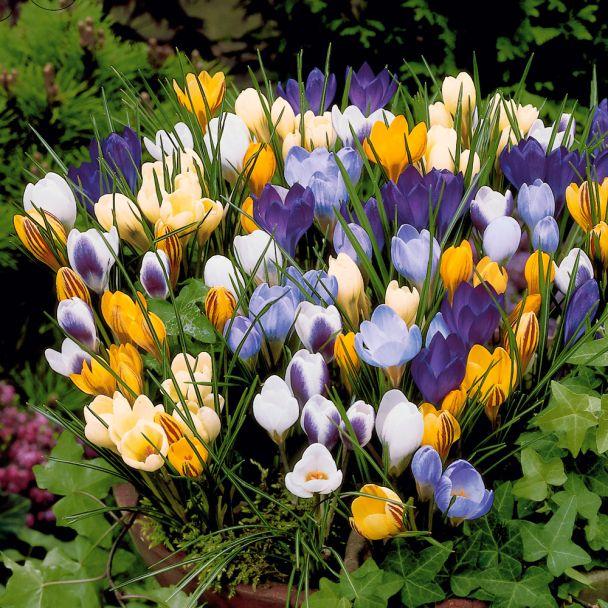 60 Botanische Krokusse