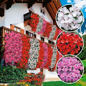 Echte Tiroler Hänge-Geranien 'Tirolia': Farbtrio (3 x Rot, 3 x Weiß, 3 x Pink)