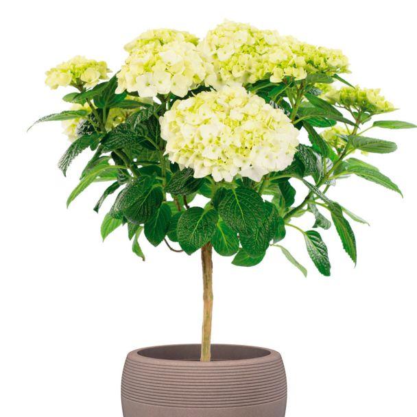Hortensien-Stämmchen, weiß