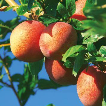 Aprikose-Zwetsche
