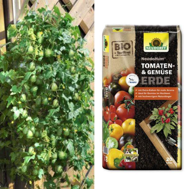 Mini-Nasch-Gurke 'Mexicana' + NeudoHum® Tomaten- und Gemüseerde (Sparangebot)