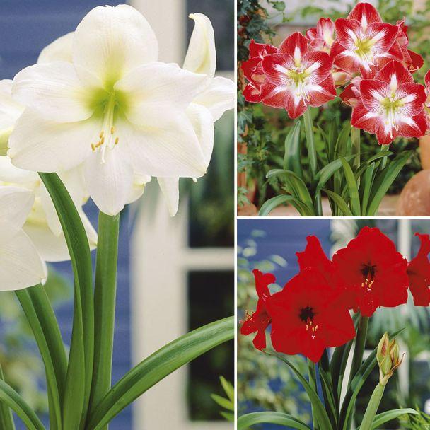 Spar-Set: 3 Amaryllis rot, weiß, rot-weiß