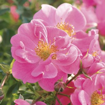 'Bienenweide®', rosa