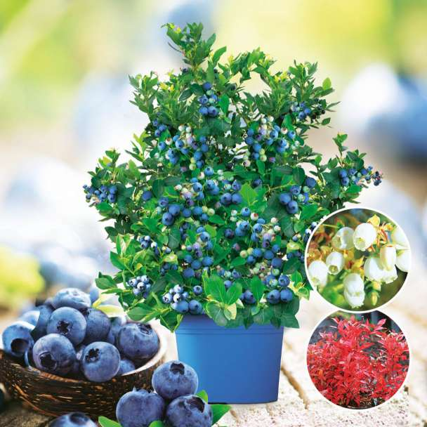 Topf-Heidelbeere Joly Berry® 'Big Blue Wonder'