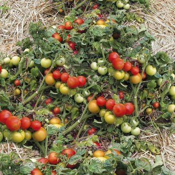 4 x 'BoToma' + Tomaten-Dünger im Sparpaket