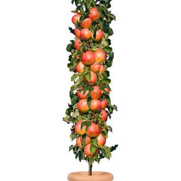 Säulenobstbaum Apfel 'Starcats®', zweijährig