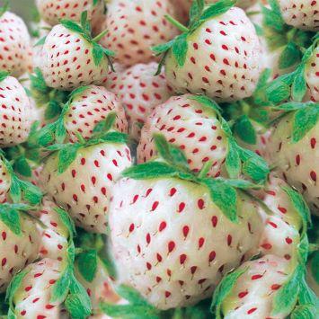 Weiße Ananas-Erdbeere 'Snow White®'