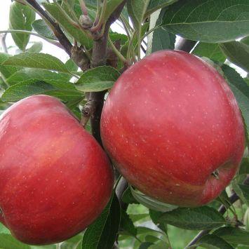 Apfelbaum  'Braeburn'