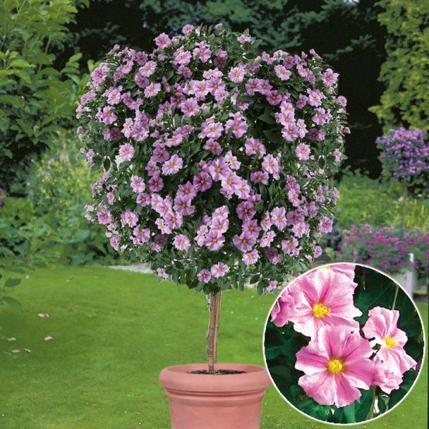 Enzianbaum Rosa