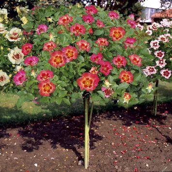 Hochstamm-Rose Babylon Eyes® 'Sunshine'