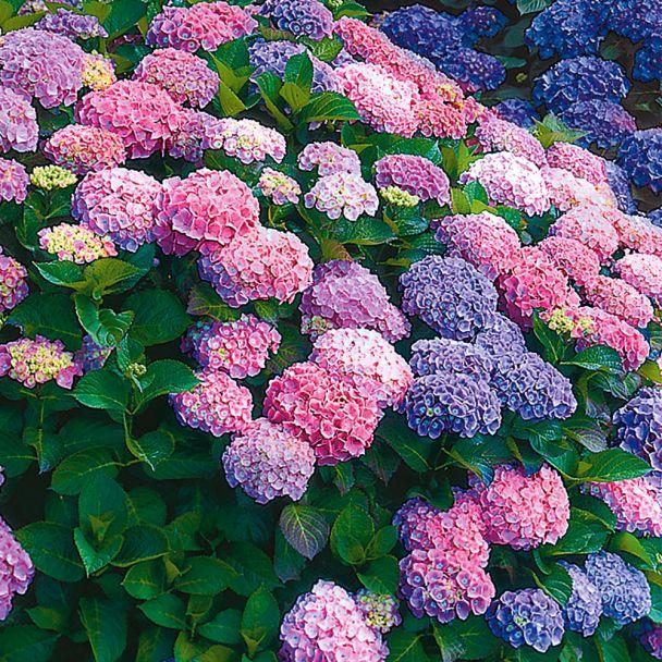 Zweifarbige Hortensie 'Farbtraum'