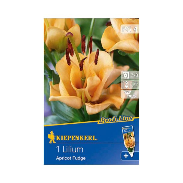 Kiepenkerl Lilie Apricot Fudge - Profi-Line