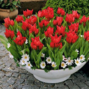 """Tulpen Praestans """"Tub. Variety"""", mehrblütig"""